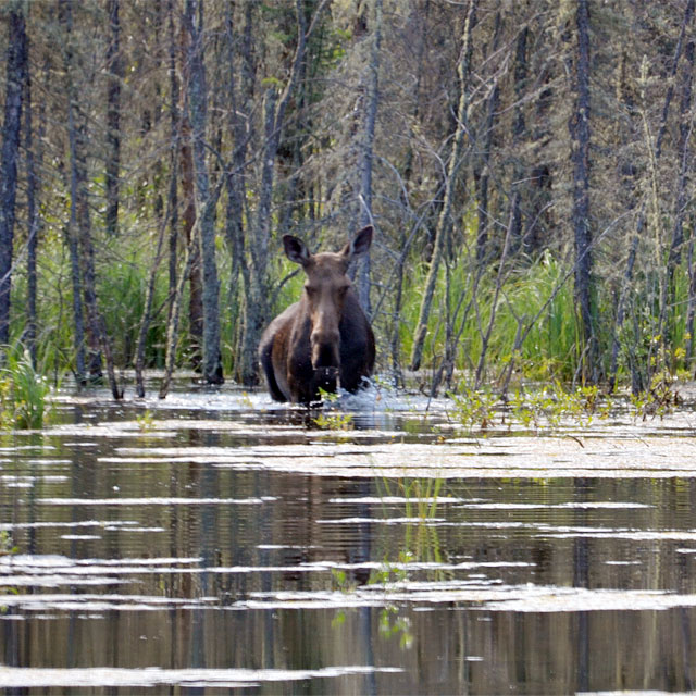 Elch im Moose Lake